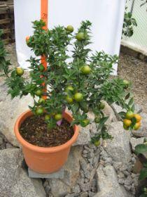 Mediterrane pflanzen for Citrus myrtifolia